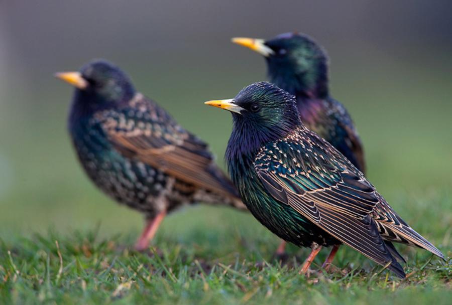 певчие птицы для домашнего содержания