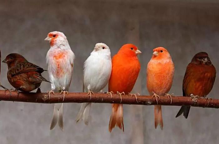 содержание и кормление певчих птиц