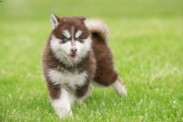 помски собака
