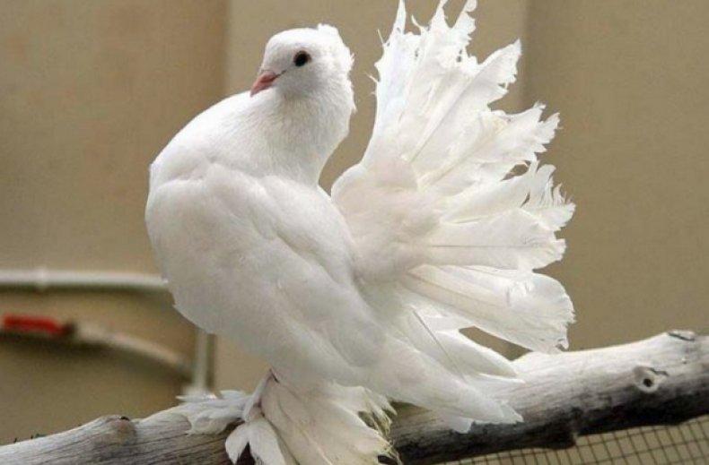 шаблона порода голубей декоративные с фотографией представлены
