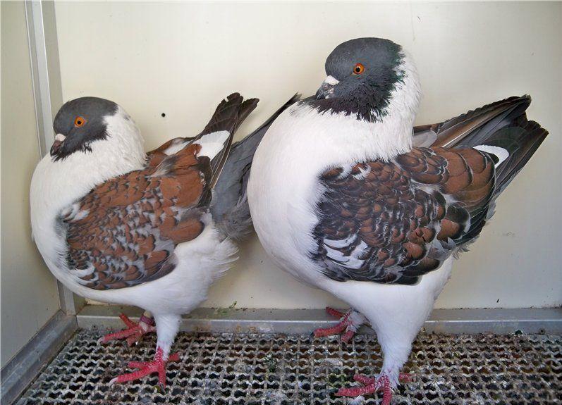 почтовые голуби