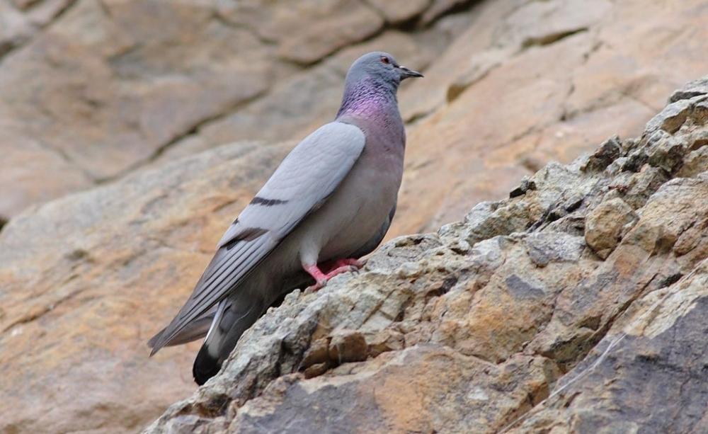 виды голубей фото и названия