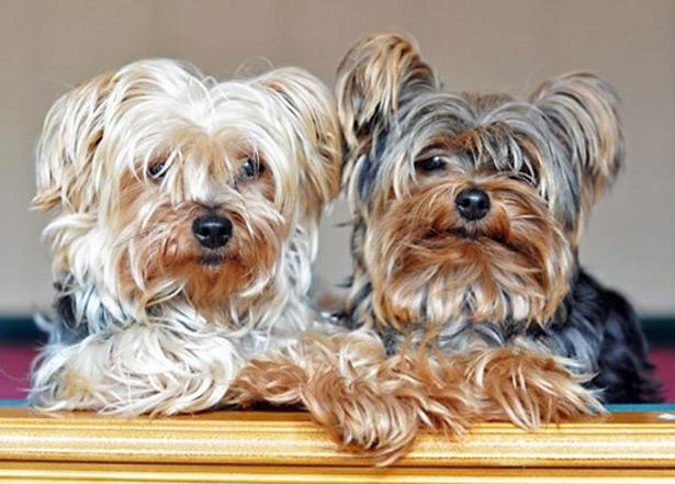 лучшие породы собак для квартиры и детей