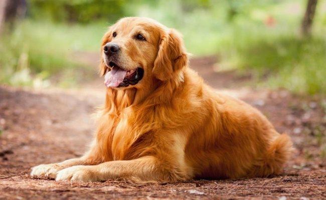 большие собаки для квартиры ретривер