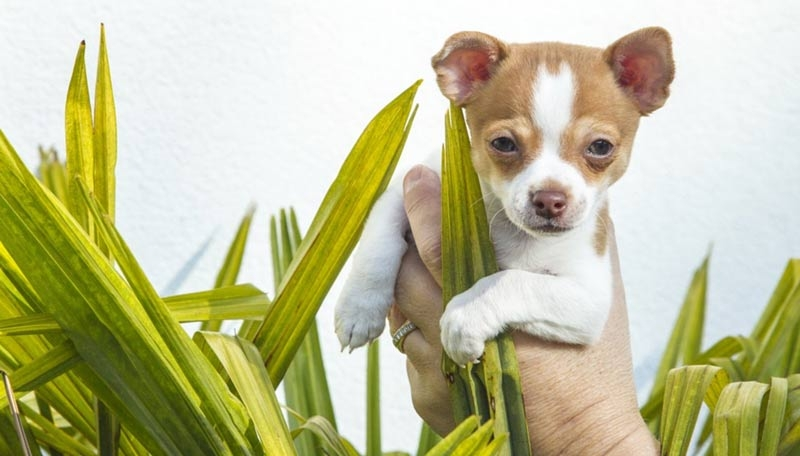 гладкошерстные породы собак для квартиры