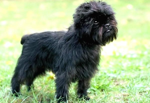 породы собак среднего размера аффенпинчер в квартиру