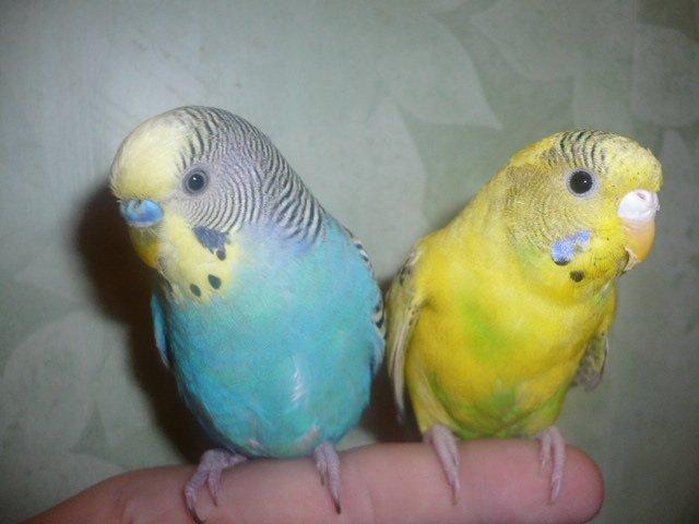 спариваются попугаи