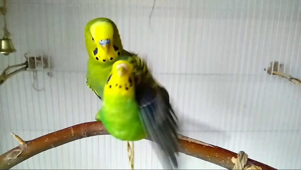размножение волнистых попугайчиков