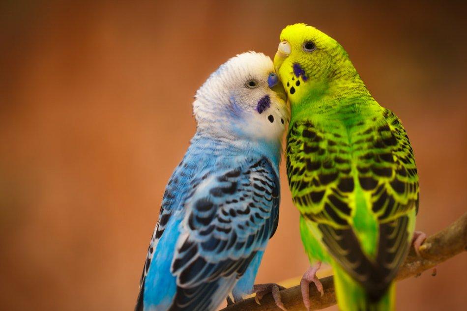 разводить попугаев