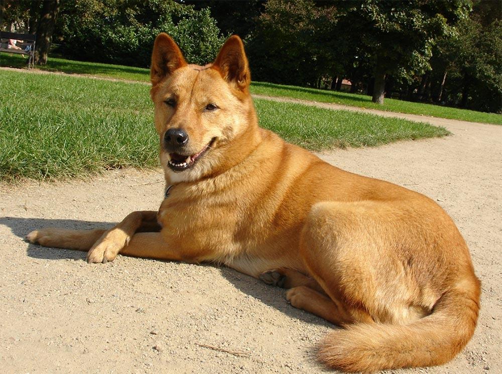 самая редкая порода собак в мире