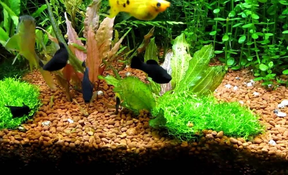 риччия в аквариуме