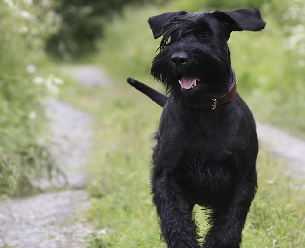 самая крупная порода собак из группы шнауцеров