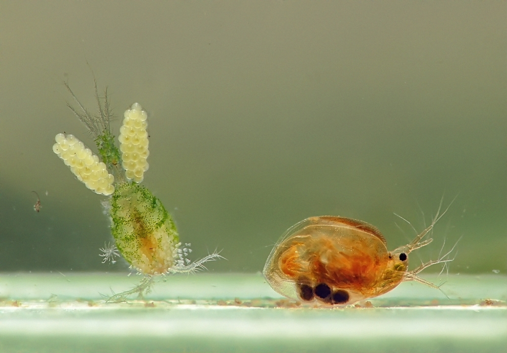 пантодон рыба бабочка
