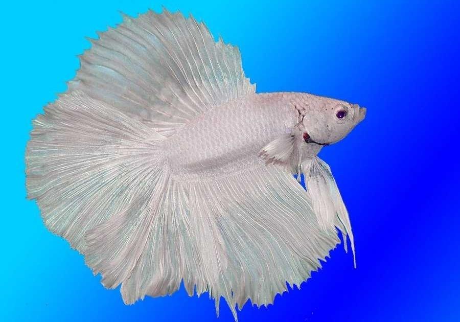 Бойцовая рыбка петушок в аквариуме - содержание, уход, аквариум