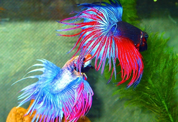 корм для петушков рыб