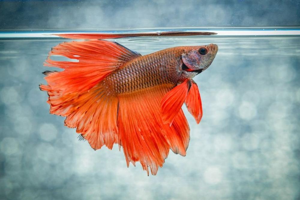рыбка петушок чем кормить