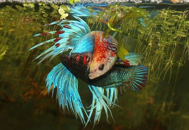 Петушки (Род Betta) - Фото - Aquafanat: аквариум и аквариумистика ...