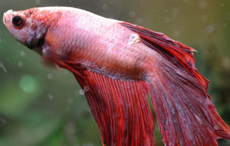 Рыбка петушок: болезни, лечение (фото, видео)