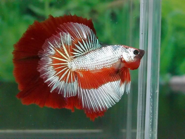 Рыбка петушок - уход и содержание, сколько живет в аквариуме ...