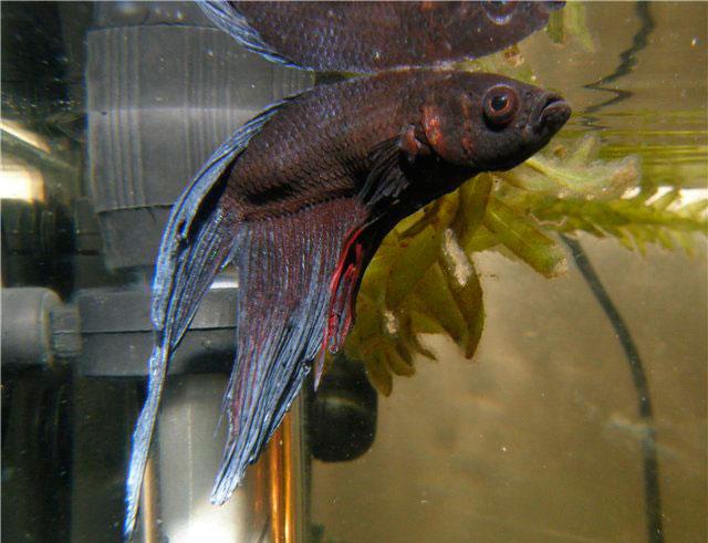 Рыбка петушок: болезни, их признаки и лечение