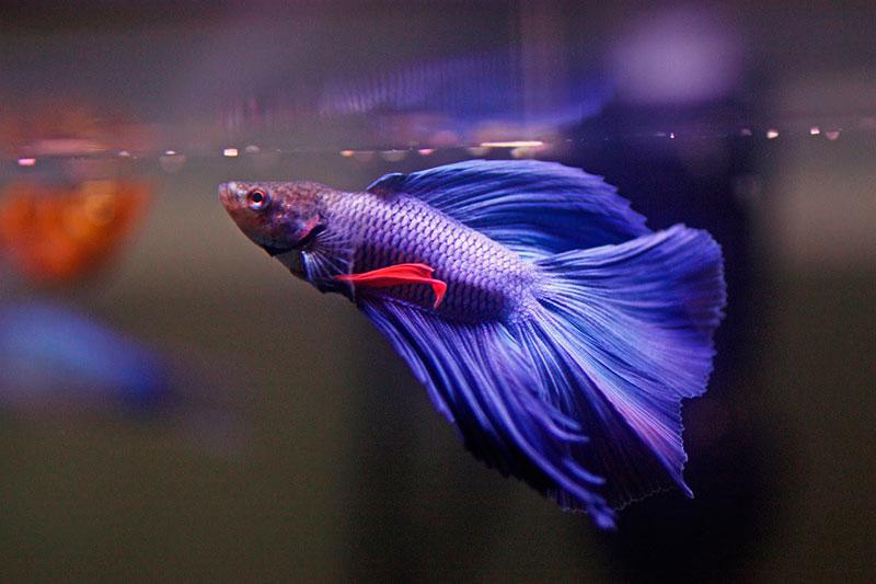 Рыбка петушок - сколько живет в домашнем аквариуме