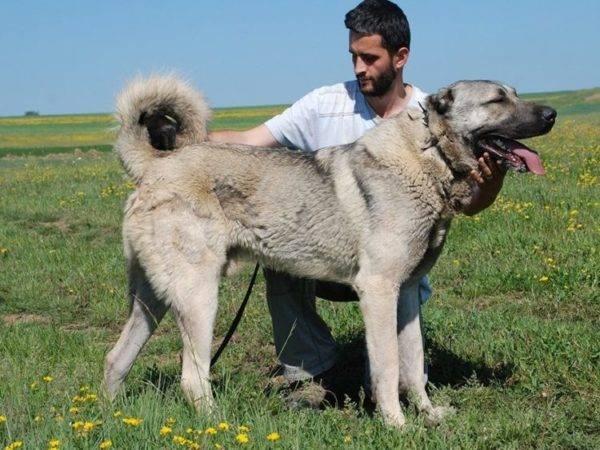 порода крупной собаки кангал