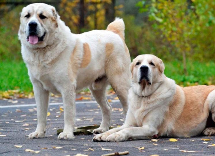 порода крупной собаки алабай