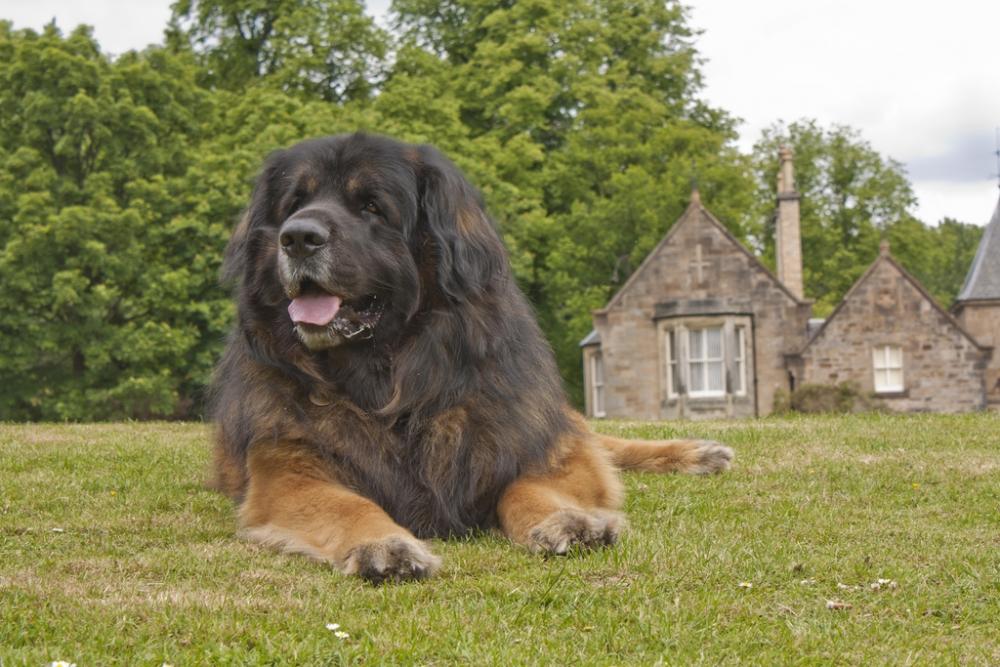 порода крупной собаки леонберг