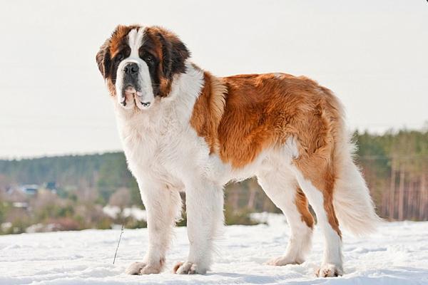 порода крупной собаки сенбернар