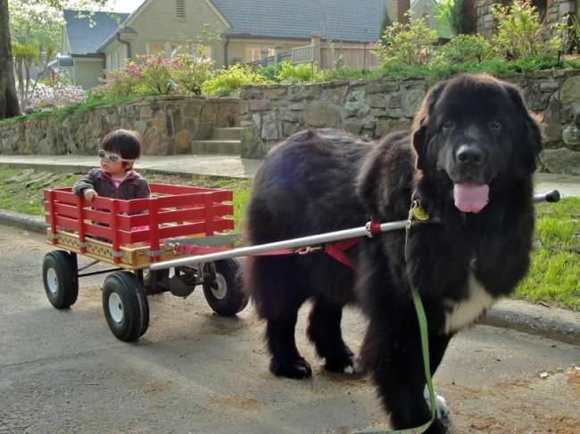 порода крупной собаки ньюфаундленд