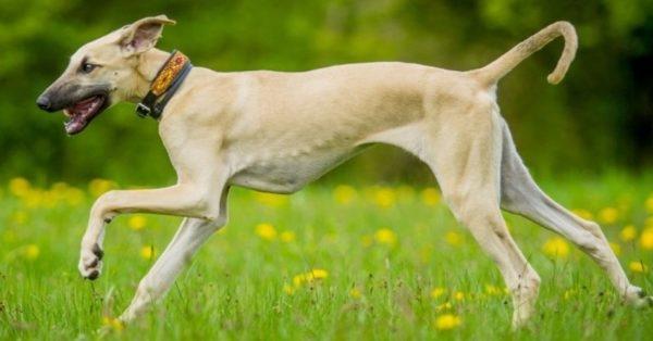 самые некрасивые собаки