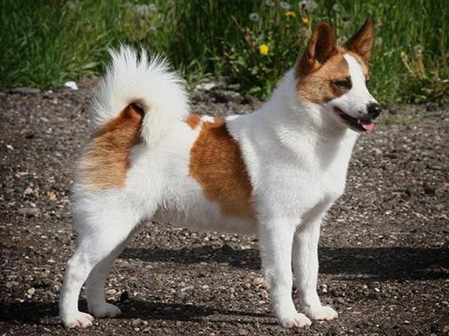 норботтен шпиц собака