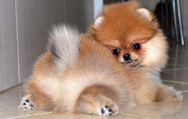 померанский шпиц размеры взрослой собаки