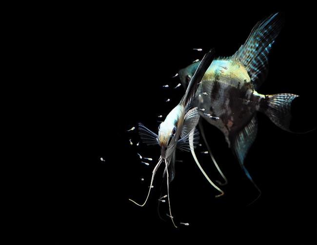 с кем уживаются скалярии в аквариуме