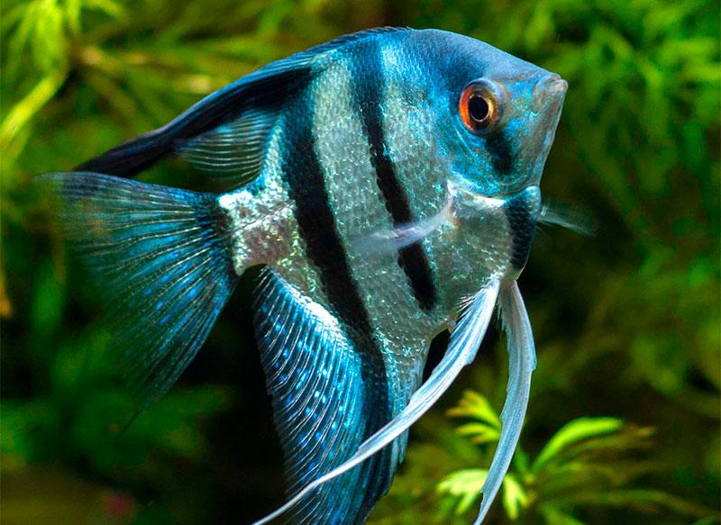 рыба скалярия аквариумная