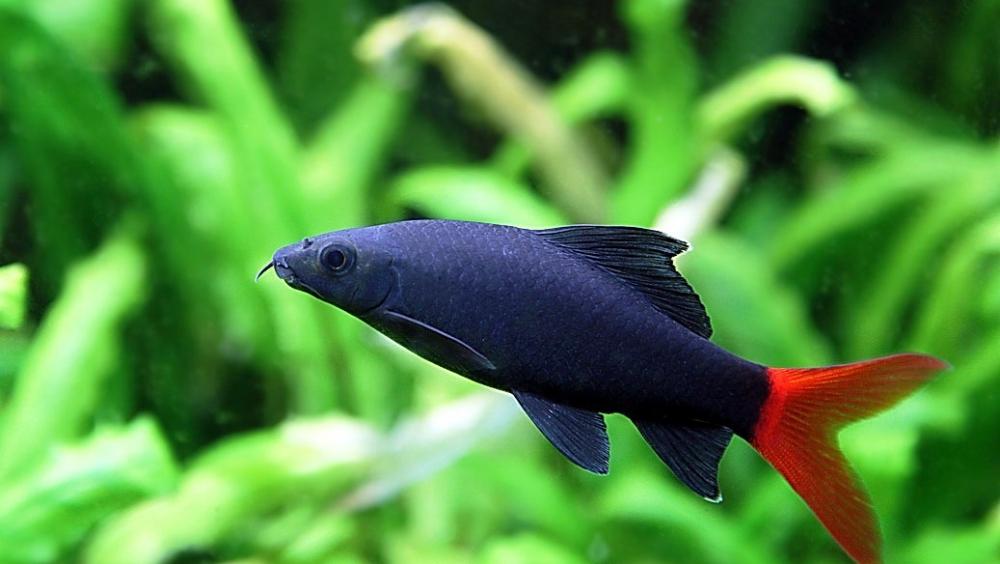 скалярии совместимость с другими рыбками