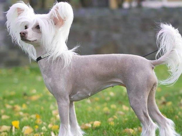 маленькая собака с большими ушами