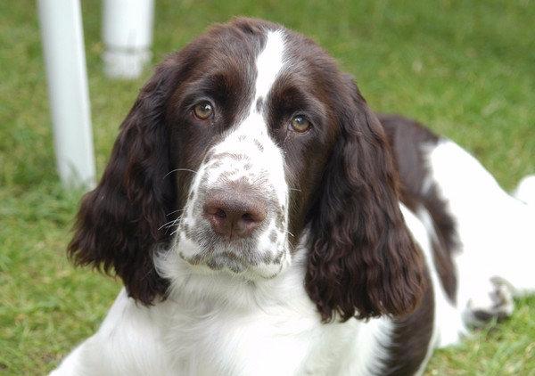 собака с длинными ушами и грустными глазами