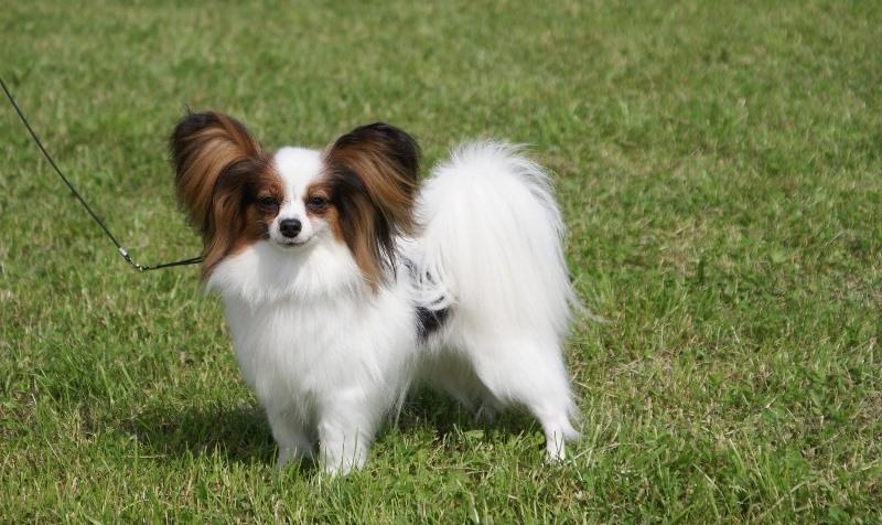 породы собак с висячими ушами