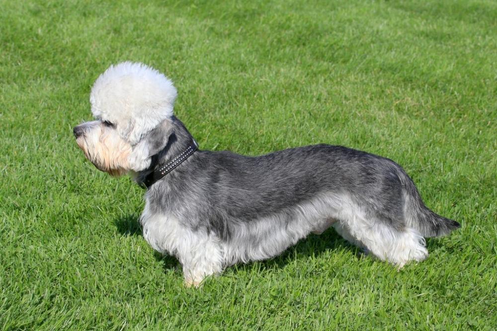 собака с короткими лапами