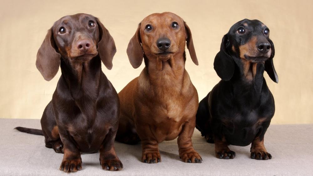 коротконогие собаки породы