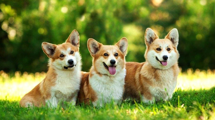 собака с короткими лапами и большими ушами