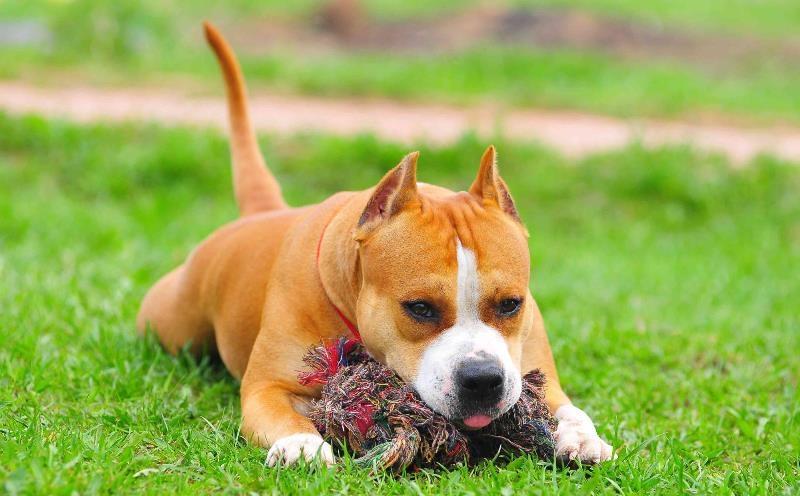 стаффордширский терьер щенок