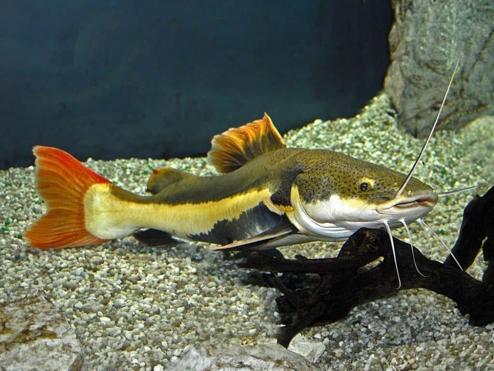 температура воды для цихлид в аквариуме