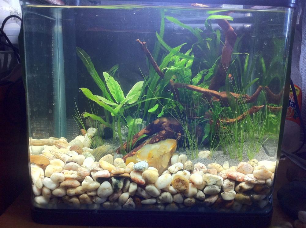 тетра рыбка аквариумная