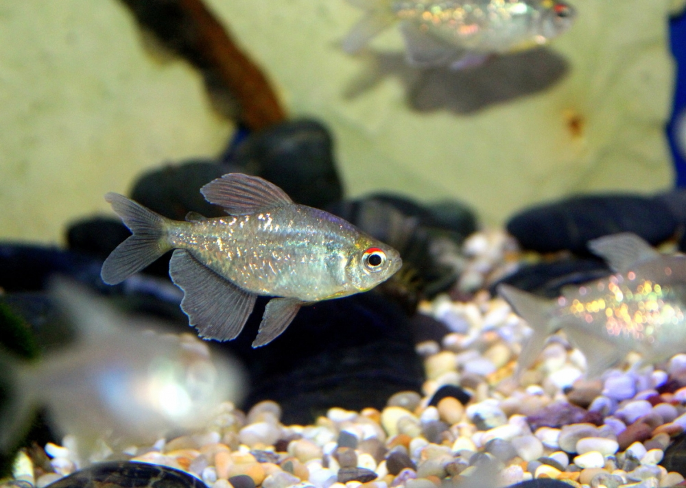 тетра рыбка виды