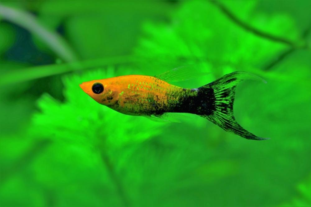 сае рыбка