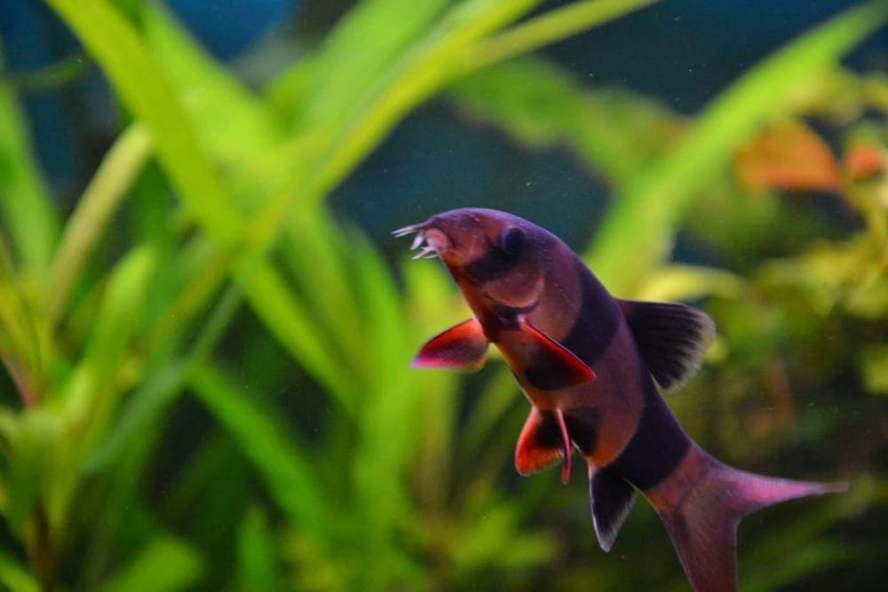 рыбка лисичка