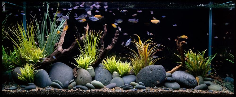сиамский водорослеед фото