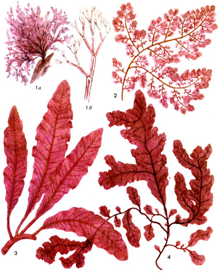 Отдел Красные водоросли (багрянки) - Rhodophycophytа [1978 Гарибова ...